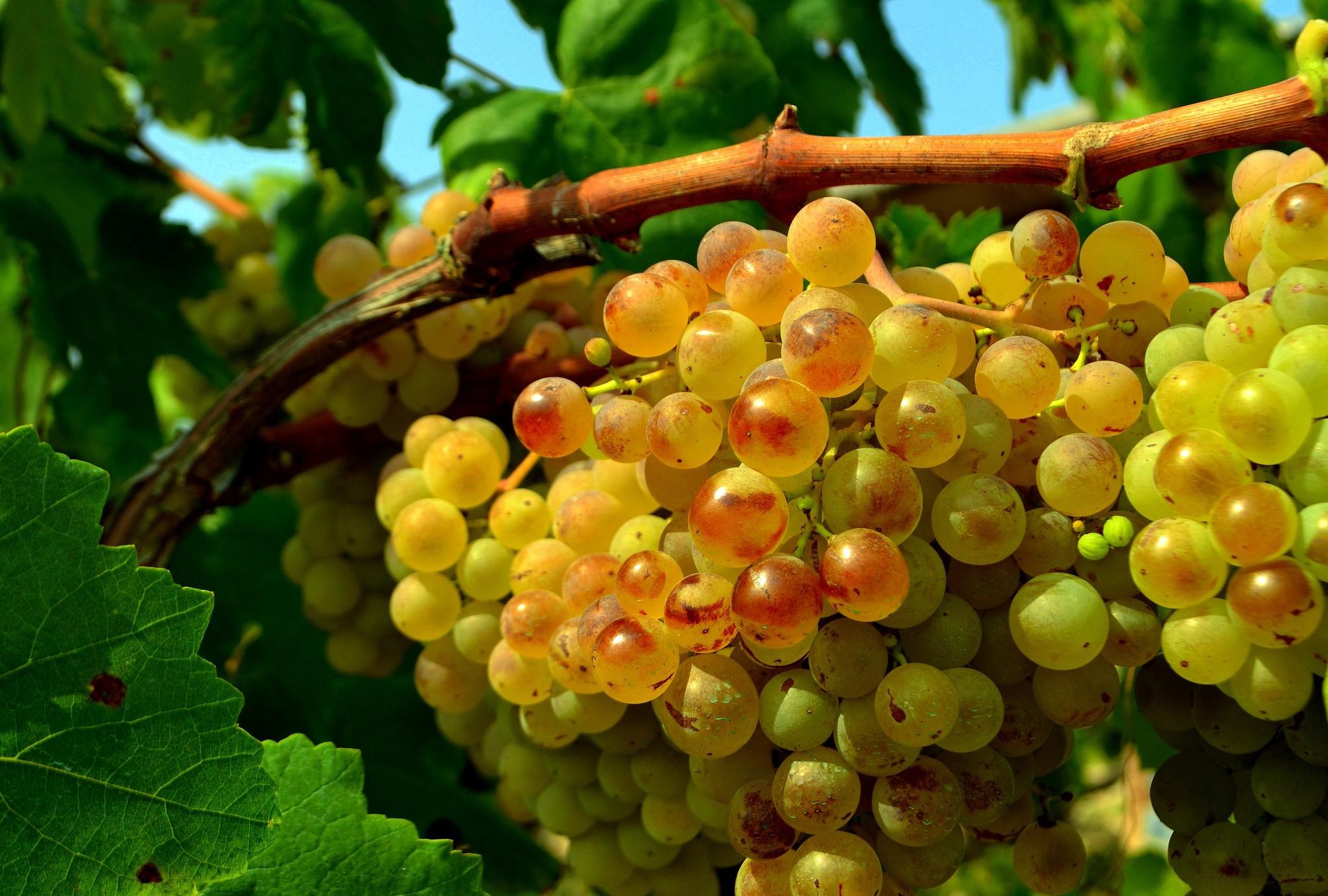 уход за виноградом в 2021 году по месяцам: календарь, как правильно ухаживать фото